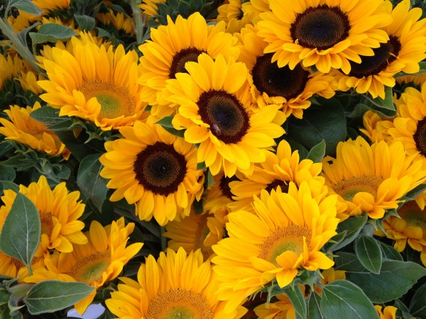 Bright Yellow Vibrant Sunflowers Summer 2013